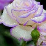 White rose, sincerity