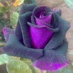 Purple rose, nobility of spirit
